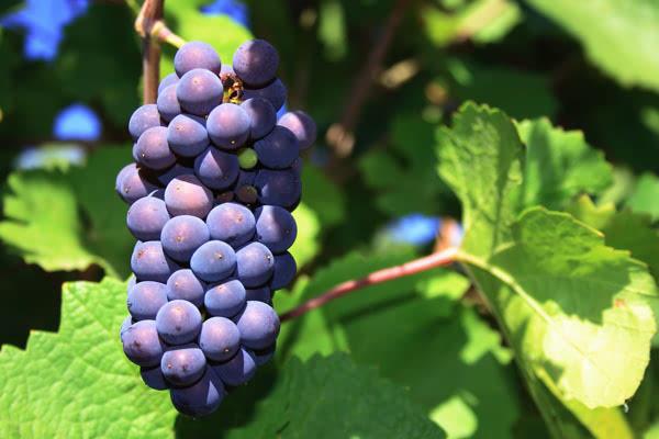黑皮诺葡萄酒的四种经典风格,总有一种是你的菜